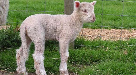 Lambing Time Events